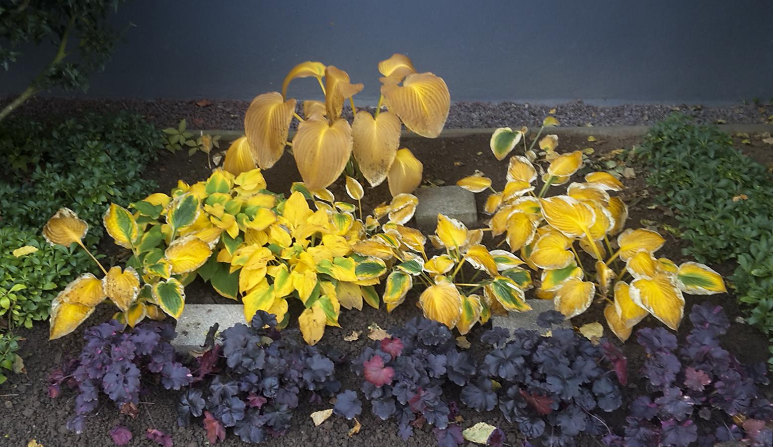 Funkien im Herbst | Gartentipps